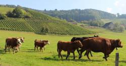herd of cattle in a meadow next to an agricultural crop field