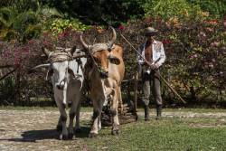 Cuban farmer with pair of ox livestock on an agricultural farm