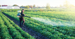 Person spraying pesticides on farm crops.