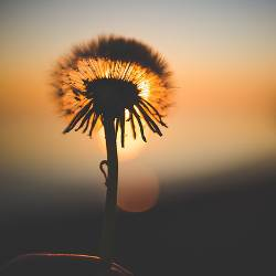 silhouette of dandelion seeds over the sunset