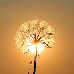 dandelion that has gone to seed in a silhouette of a sunset