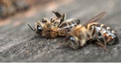 dead bees lying on the pavement
