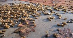 Dead Honey Bees cover the sidewalk
