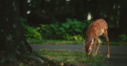 A fawn eating grass