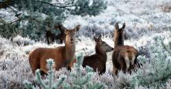 three deer in a frost covered field in winter