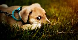 small puppy dog on a leash in a grassy lawn