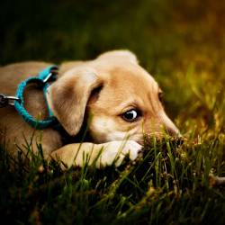 puppy dog laying in a grassy lawn