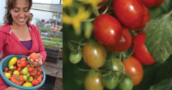 Farmer and tomatoes.