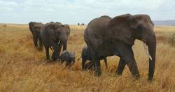 Elephant family walking through grass lands