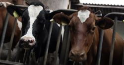 black white and brown cattle in a factory farm CAFO