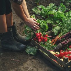farmer leans over a crate of vegetables holding some radishes