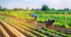 out of focus image of farmers in a crop field harvesting