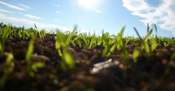 farm field of soil with small green seedlings growing up on a sunny blue sky day