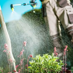person in a garden spraying a plant with pesticides