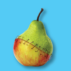 pear and apple stapled together symbolizing a GMO hybrid