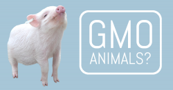 GMO Animals? (image of a piglet with nose in the air)