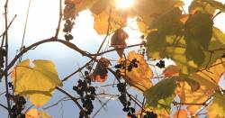 vineyard grapes shining in the sun