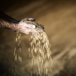 grains of wheat falling through a persons hands