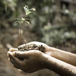 hands holding a small sapling in soil in the rain