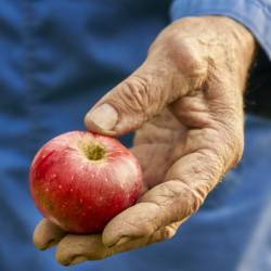 elder farmer holding a red apple from harvest