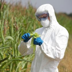 person in hazardous material suit inspecting GMO corn in a farm field