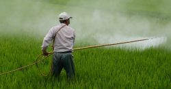 farmer sprays pesticide on rice field
