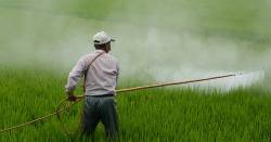 Farmer in a rice field spraying an herbicide