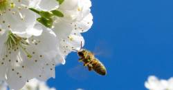honeybee flying near white flowers