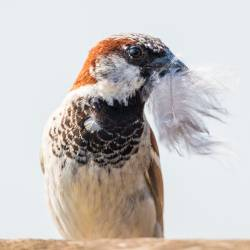 house sparrow holding a feather in its beak