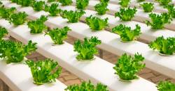 greenhouse farm crop of hydroponic lettuce