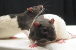 Lab Rats for testing