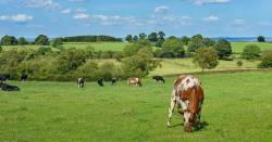 Cows grazing on a sunny farm field