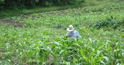 maize farmer in field