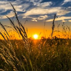 Meadow grasses in front of a sunset