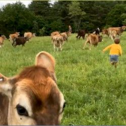 cows in a green field at the Milkhouse Dairy and Creamery in Maine