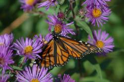 Monarch Butterflies Face 'Quasi-Extinction' — But Hope Is on the Wing