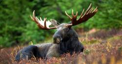 bull moose laying down in a grassy meadow