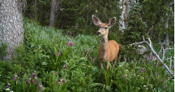 mule deer standing in wooded area