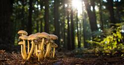 cluster of white mushrooms on the forest floor dappled with sunlight