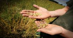 Farmer holding wheat seeds on an organoic farm