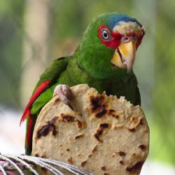 colorful parrot eating a tortilla