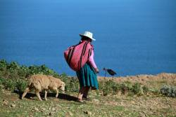 Peruvian farmer leading a sheep
