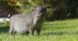 gray pig in a grassy field smiling in the sunlight