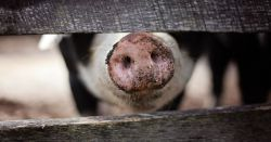 black and white pig with its nose sticking through a wooden fence on a farm