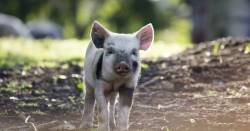 baby piglet on a farm near a forest