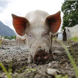 pig on a farm field with its nose in the mud