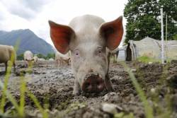 Pig with face in the mud at a hog farm