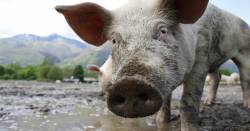 pig in mud at a livestock animal farm