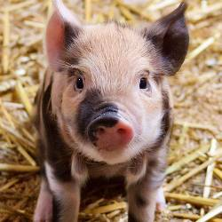 black and white piglet on a farm in hay
