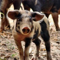 black spotted baby pig on a farm